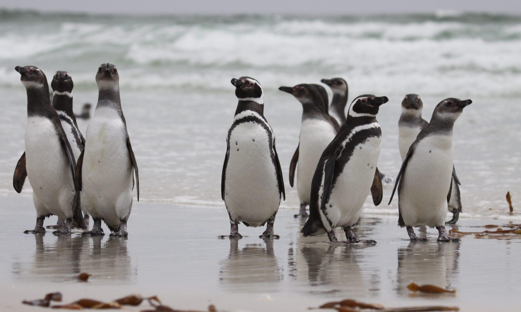 von dfaulder (Magellanic Penguins)